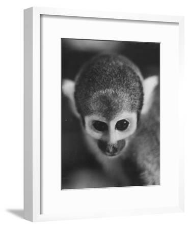 Squirrel Monkey, Baker, Who Made Space Flight in Jupiter Missile, in Lab