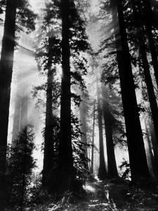 Sunlight Shining Through California Redwoods by Grey Villet
