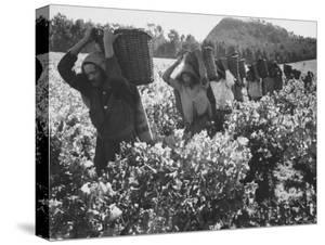 Wine Vineyard at Fransch Hoek in Cape Province Workers Spreading Fertilizer by Grey Villet