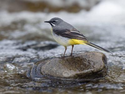 Grey Wagtail Male on Rock in Fast Flowing Upland Stream, Upper Teesdale, Co Durham, England, UK-Andy Sands-Photographic Print