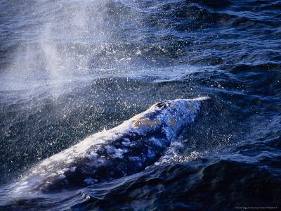 Grey Whale, Blowing, Baja Califo-Gerard Soury-Photographic Print