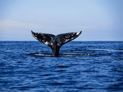 Grey Whale, Diving, Vancouver Island, Canada-Gerard Soury-Photographic Print