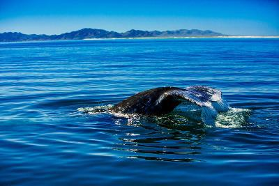 Grey Whales, Whale Watching, Magdalena Bay, Mexico, North America-Laura Grier-Photographic Print