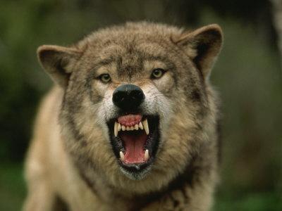 https://imgc.artprintimages.com/img/print/grey-wolf-growling-montana-united-states-of-america-north-america_u-l-pxucv50.jpg?p=0