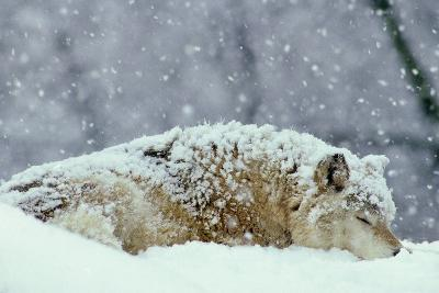 Grey Wolf Resting During Heavy Snow--Photographic Print
