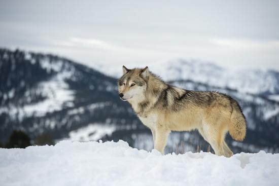 Grey Wolf (Timber Wolf) (Canis Lupis), Montana, United States of America, North America-Janette Hil-Photographic Print