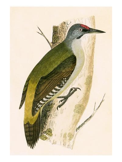 Grey Woodpecker,  from 'A History of the Birds of Europe Not Observed in the British Isles'-English-Giclee Print