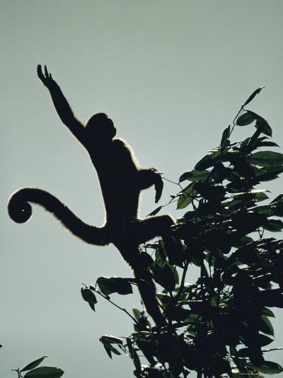 Grey Wooly Monkey Hurls Itself from a Bough in the Rain Forest-Mattias Klum-Photographic Print