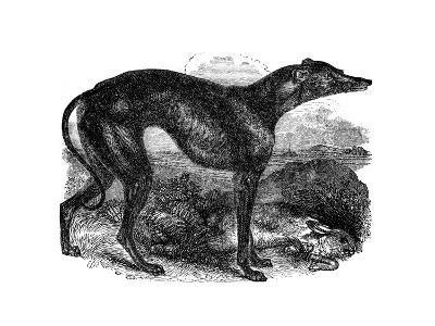 Greyhound, 1848--Giclee Print