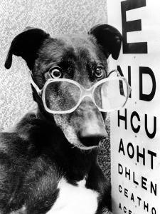 Greyhound Bitch Wearing Glasses February 1987