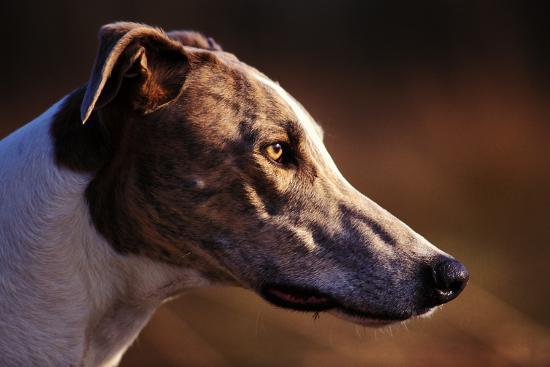 Greyhound Portrait-Adriano Bacchella-Photographic Print