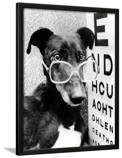 Greyhound Wearing Glasses February 1987--Framed Photographic Print