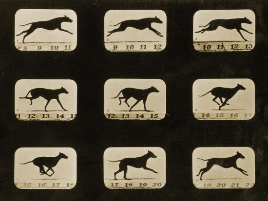 Greyhounds Running, from the 'Animal Locomotion' Series, C.1881-Eadweard Muybridge-Photographic Print