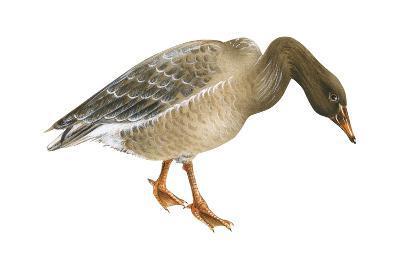 Greylag Goose (Anser Anser), Birds-Encyclopaedia Britannica-Art Print