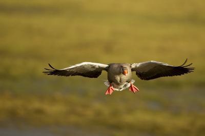 Greylag Goose (Anser Anser) in Flight, Caerlaverock Wwt, Scotland, Solway, UK, January-Danny Green-Photographic Print