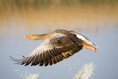 Greylag Goose in Flight--Photographic Print