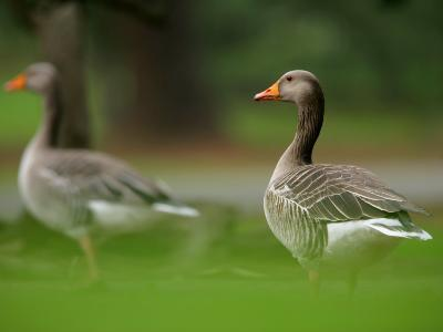 Greylag Goose, Pair of Greylag Geese Side-By-Side in Green Haze of Vegetation, London, Britain-Elliot Neep-Photographic Print