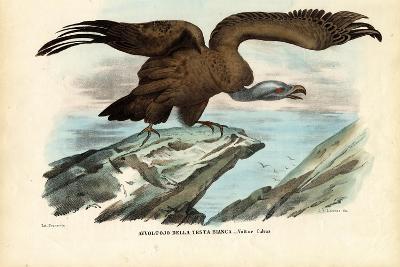 Griffon Vulture, 1863-79-Raimundo Petraroja-Giclee Print