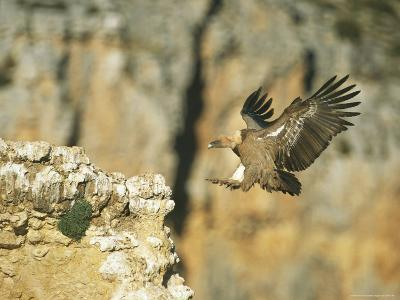 Griffon Vulture Coming in for a Landing on a Rocky Outcrop-Klaus Nigge-Photographic Print