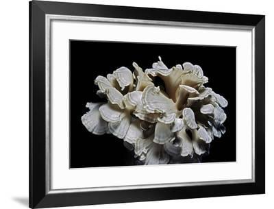 Grifola Frondosa (Hen of the Woods, Ram's Head, Sheep's Head, Maitake)-Paul Starosta-Framed Photographic Print
