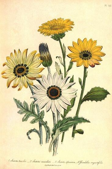 Grindelia Flowers--Giclee Print