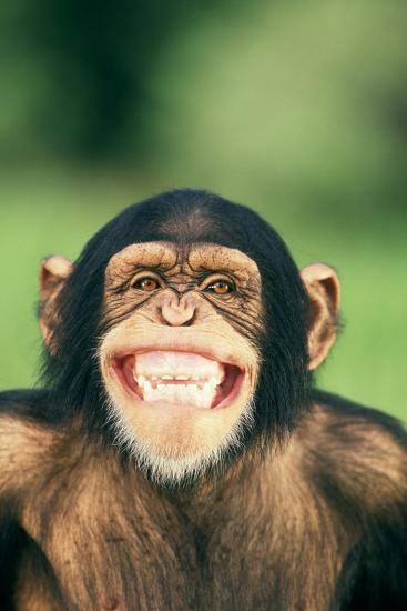 Grinning Chimpanzee-DLILLC-Photographic Print