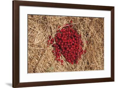 Griottes Sur Paille-Gaetan Caron-Framed Giclee Print