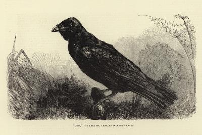 Grip, the Late Charles Dickens' Raven--Giclee Print
