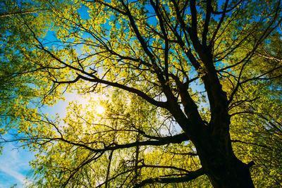 Spring Sun Shining through Canopy of Tall Oak Trees.