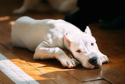 The Dogo Argentino also known as the Argentine Mastiff is a Large, White, Muscular Dog that Was Dev