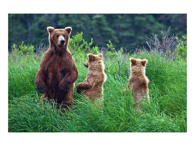 Grizly Bears at Katmai Alaska--Art Print