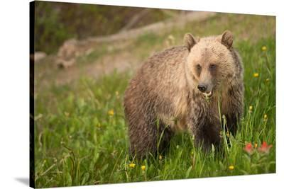 Grizzly At Lake Louise--Stretched Canvas Print