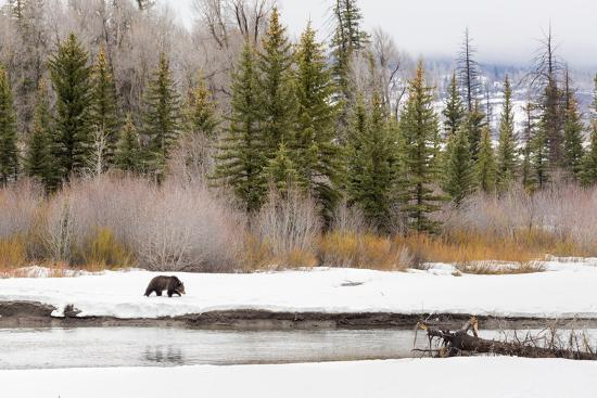Grizzly Bear #760 Of Grand Teton National Park Walking Along The Buffalo Fork River, Wyoming-Mike Cavaroc-Photographic Print