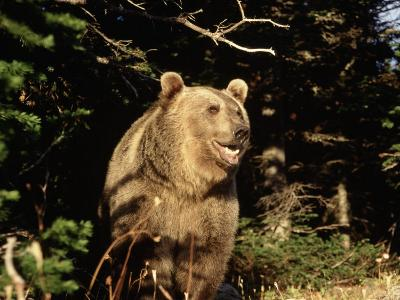 Grizzly Bear at Edge of Forest-Guy Crittenden-Photographic Print