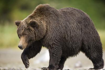 Grizzly Bear at Geographic Harbor in Katmai National Park-Paul Souders-Photographic Print