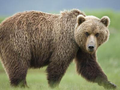 Grizzly Bear at Kukak Bay in Katmai National Park-Paul Souders-Photographic Print