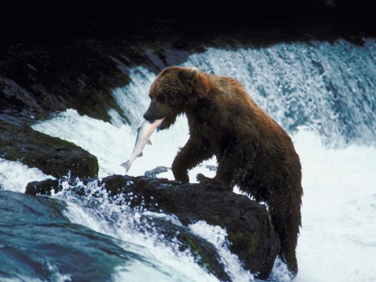 Grizzly Bear Catching Fish from Rushing Stream--Photographic Print