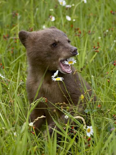 Grizzly Bear Cub in Captivity, Eating an Oxeye Daisy Flower, Sandstone, Minnesota, USA-James Hager-Photographic Print