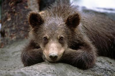 Grizzly Bear Cub Laying on Ground Alaska Wildlife Conservation Center Sc Alaska Summer Captive-Design Pics Inc-Photographic Print