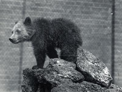Grizzly Bear Cub-Frederick William Bond-Photographic Print