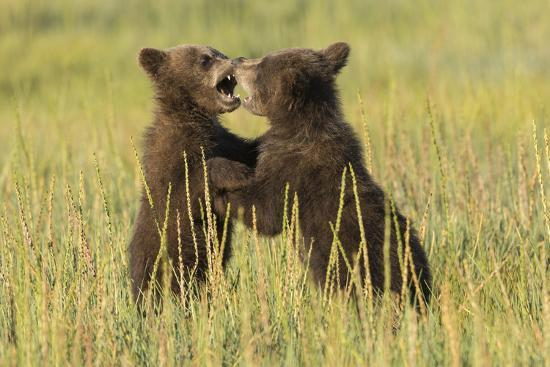 Grizzly bear cubs playfighting in a meadow.-Brenda Tharp-Premium Photographic Print