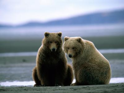 Grizzly Bear Cubs Pose for the Camera-Joel Sartore-Photographic Print