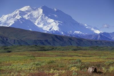 https://imgc.artprintimages.com/img/print/grizzly-bear-feeding-on-tundra-below-mt-mckinley_u-l-pzmmik0.jpg?p=0