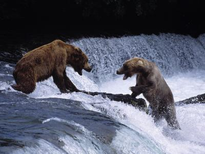 Grizzly Bear Fights with Another Bear-Jeff Foott-Photographic Print