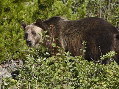 Grizzly Bear, Glacier National Park, Montana, USA-James Hager-Photographic Print