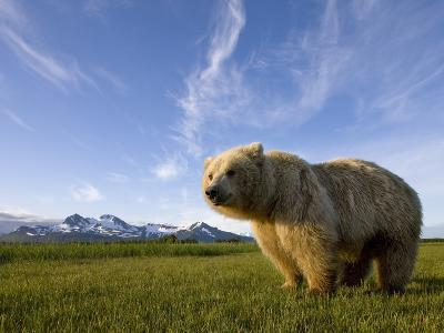 Grizzly Bear in Meadow at Hallo Bay in Katmai National Park-Paul Souders-Photographic Print