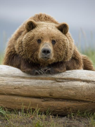 Grizzly Bear Leaning on Log at Hallo Bay-Paul Souders-Photographic Print