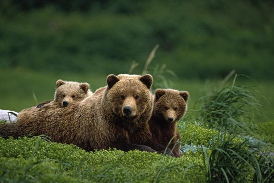 Grizzly Bear Mother and Cubs Lay in Field Southwest Ak - Nsummer-Design Pics Inc-Photographic Print