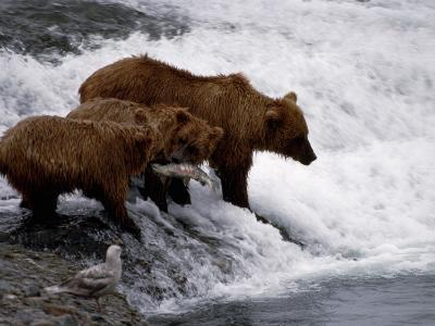 Grizzly Bear Mother Andyoung Hunting Fish-Jeff Foott-Photographic Print