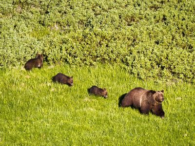 Grizzly Bear No.399 and Cubs in Willow Flats-Mike Cavaroc-Photographic Print